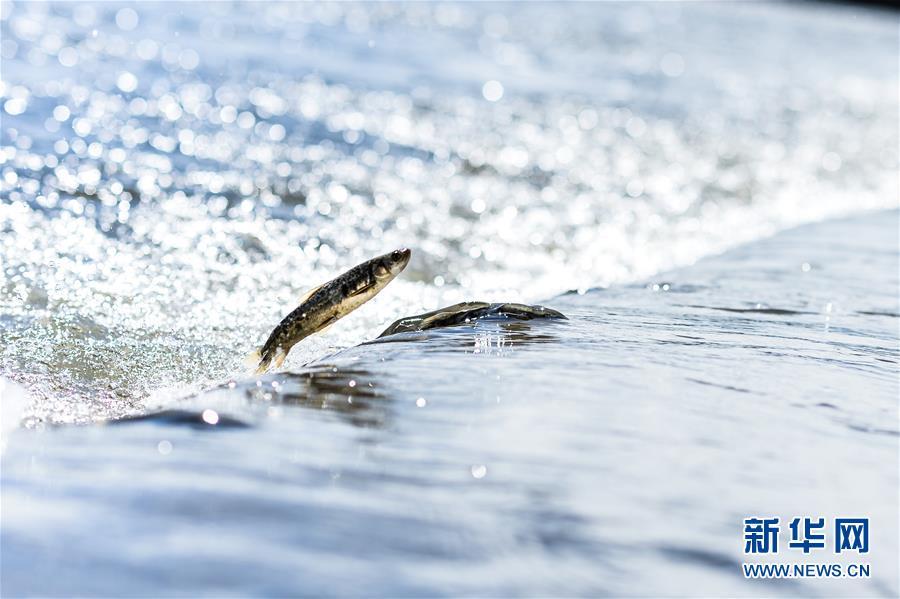 (图文互动)(2)青海一条鱼:从濒临灭绝到鱼翔浅底