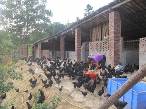 生态养殖资源黑鸡发展前景广阔