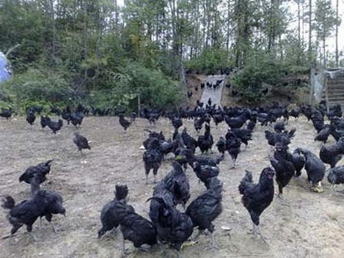 资源黑鸡:妇女病坐月子的上佳滋补品