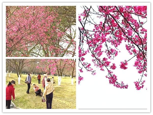 1月23日焦点图:南宁石门森林公园的樱花开啦!