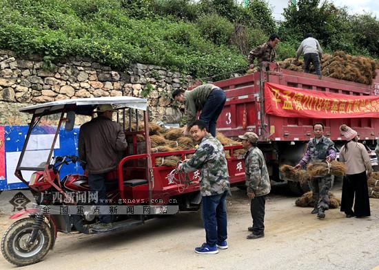那坡:蚕桑种植促增收 贫困群众喜领扶贫桑苗(图)