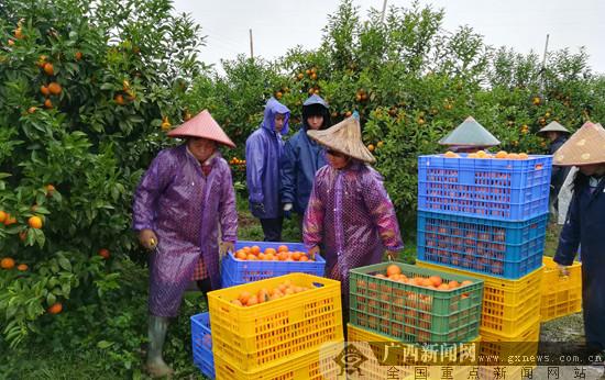 2018年武鸣沃柑上市新闻发布会举行