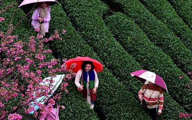 福建茶园樱花绿映红