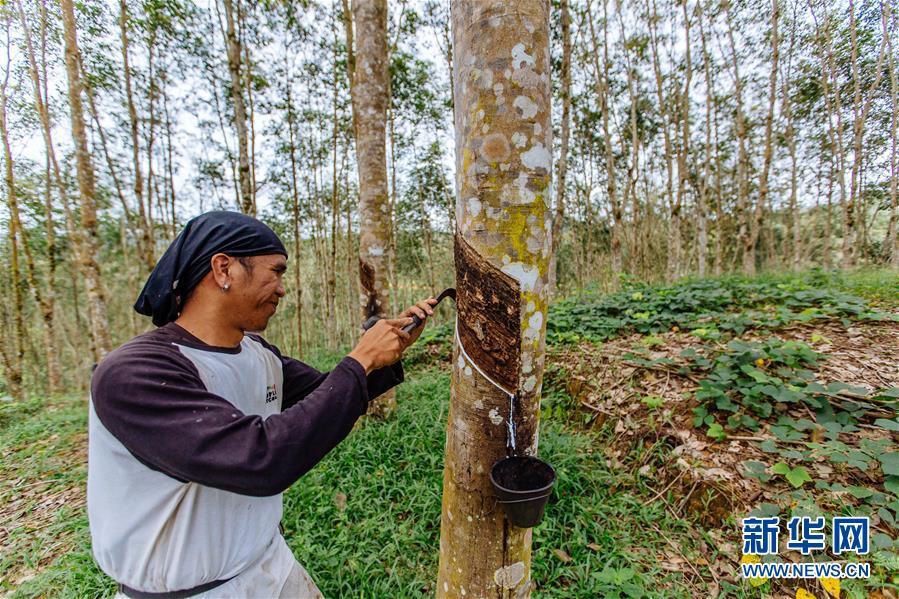 (国际)(6)心中有树,共生共荣――走进马来西亚婆联木业永续性森林保护区
