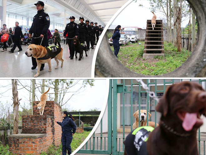 """警犬""""泰森""""的最后一个春运:每天巡逻超2万多步"""
