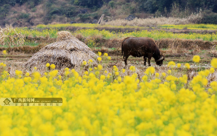 春天里一道美丽风景 融安3万余亩油菜花迎春开放