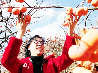 高清:看那金色的山野 金桂飘香柿子红
