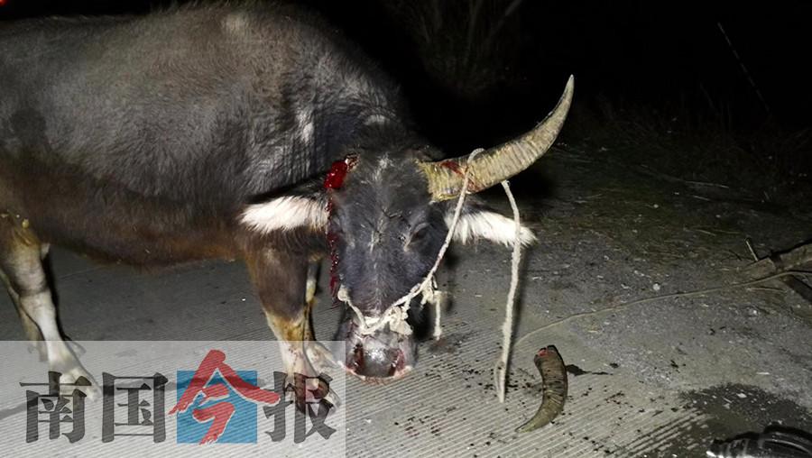 小车追尾牛车顶断一根牛角 驾牛车老汉受伤(图)