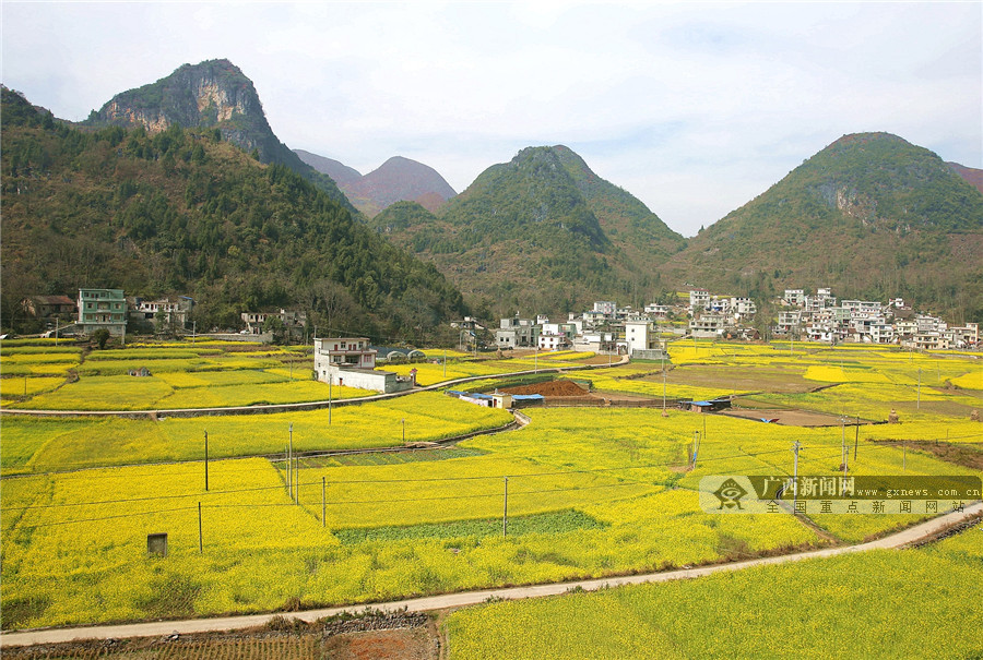 高清图集:广西隆林油菜花开景色美