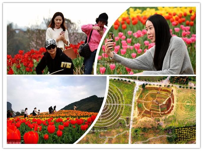 河池:数十亩郁金香绽放 游客游花海迎新春(组图)
