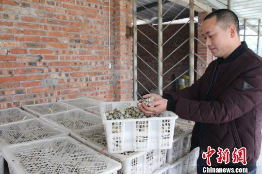 重庆打工仔返乡创业鹌鹑蛋孵出致富大产业