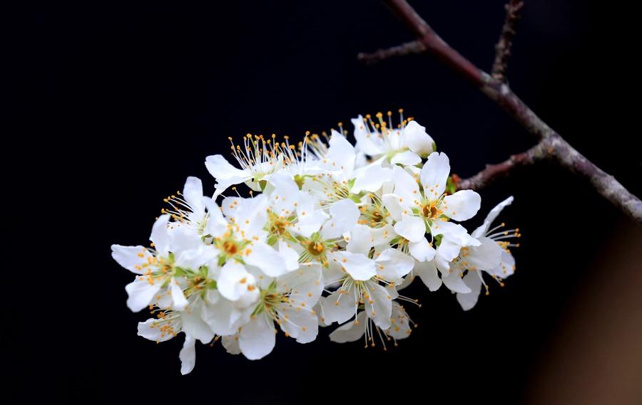 融安:百年李树春日里渐次开花(组图)