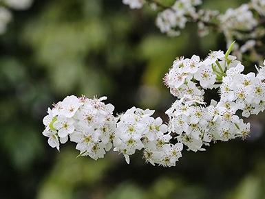广西钦州千树万树梨花开 满山芳华尽是春(组图)