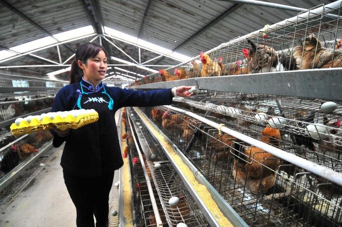 图为党员黄茹秀在合作社里捡收种鸡蛋(许增强摄)