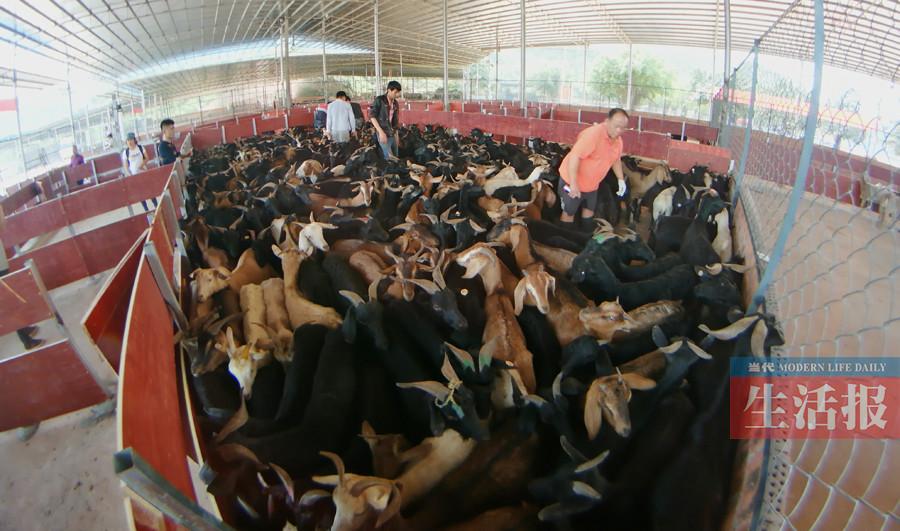 南宁有了规范合法的活羊交易场位于良庆区那马镇