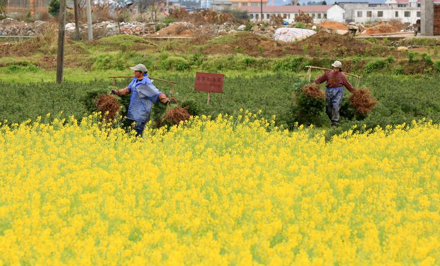 人勤春来早 融安群众抢抓农时投入春季农业生产