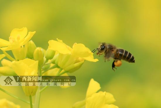 融安:春意盎然油菜花开 蜜蜂忙采蜜(图)