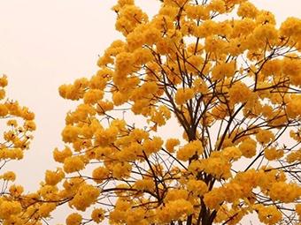高清组图:柳州风铃木绽放 满目黄金等你来