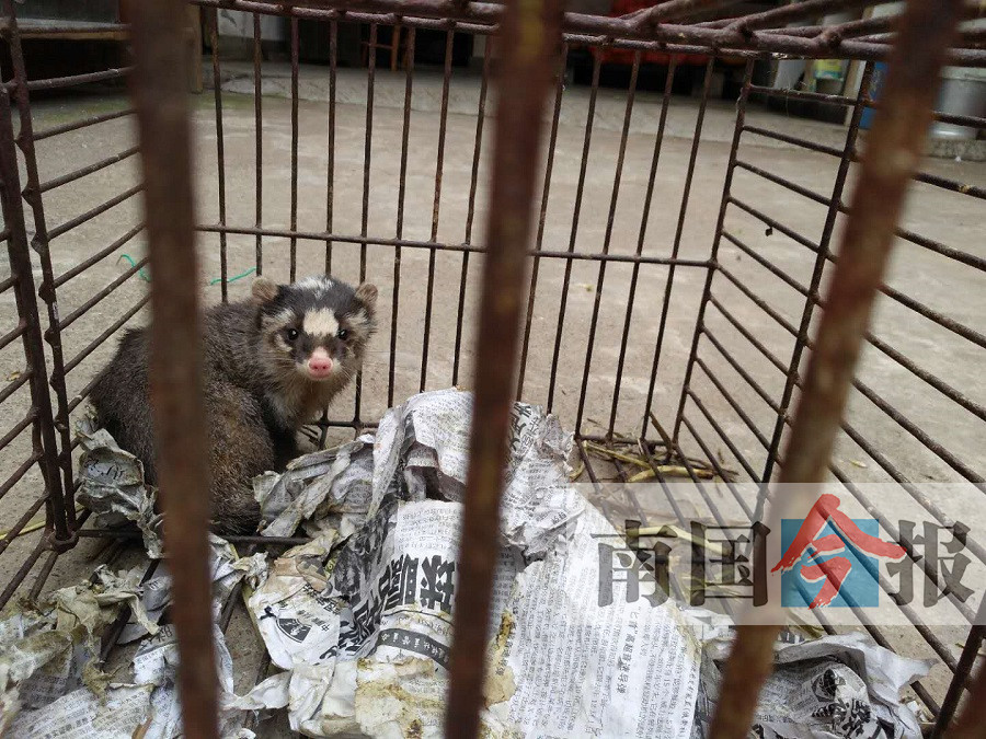 鼬獾误踩兽夹伤势严重 动物园为其截肢保命(图)
