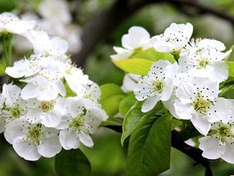高清组图:又是一年春来到 平乐梨花满树开
