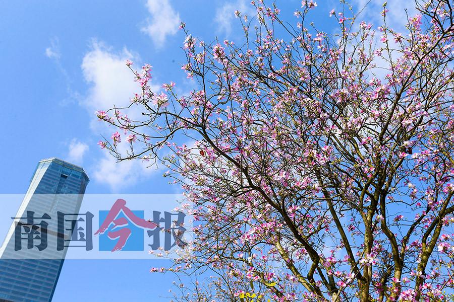 高清组图:柳州市洋紫荆花提前绽放