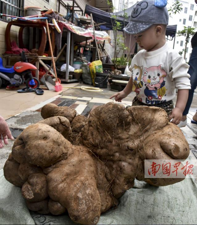 3月21日焦点图:北海一居民种出一棵近40公斤大薯