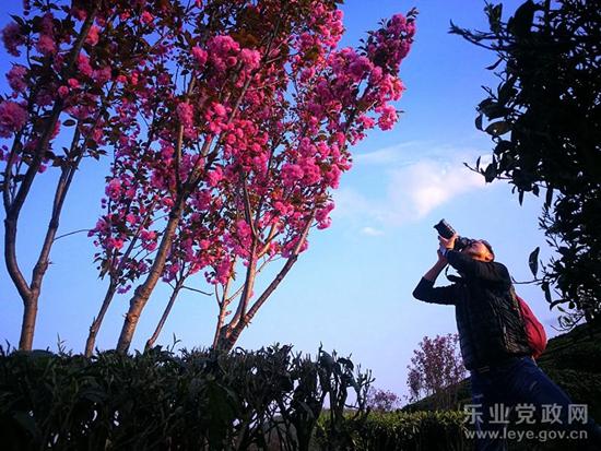 乐业高山樱花烂漫 引来大量游客采风