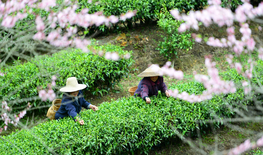 高清组图:春到茶园采摘忙 龙胜茶农采春茶