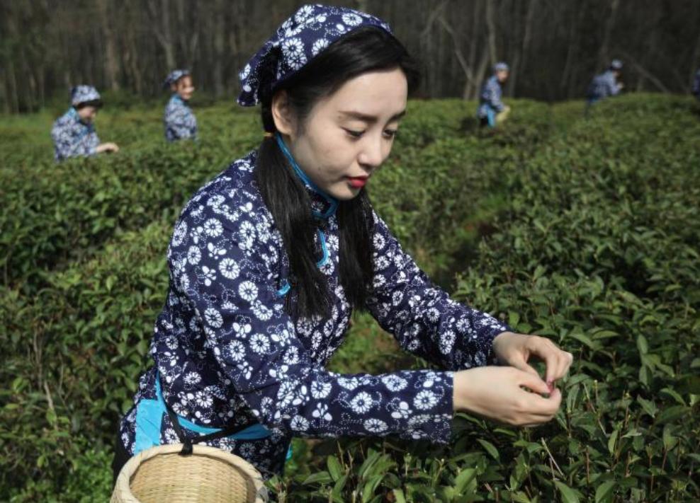 采茶姑娘走进南京中山陵园开采雨花春茶