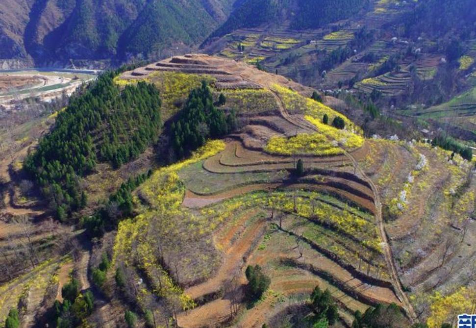 河南卢氏:连翘种植助农增收