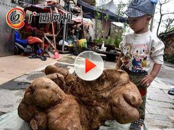 成精了!北海挖出一个近80斤的大薯