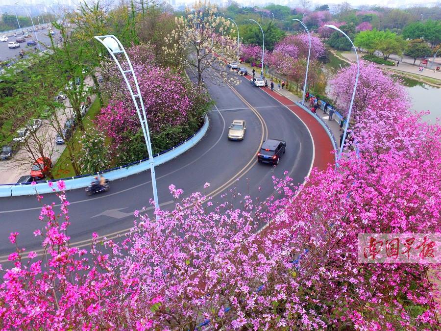 洋紫荆扮靓柳州城