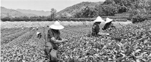 bob开户:西湖龙井43号进入大量采摘期 采茶工工钱年年涨