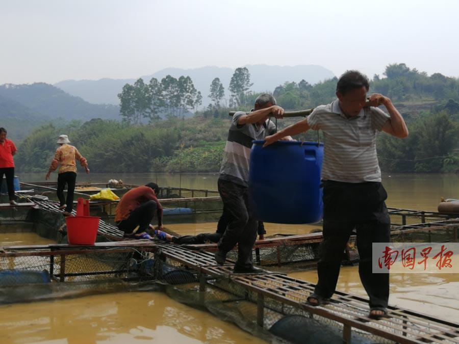 岑溪一河段21万公斤网箱鱼死亡 经济损失达数百万