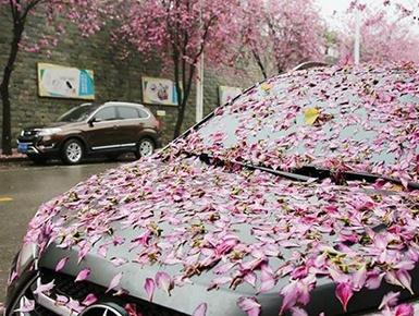 高清组图:柳州柔风吹细雨 紫荆花落妆满城