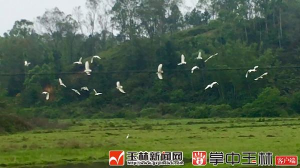 北流市白马镇睦雍村:生态田园美 白鹳成群飞