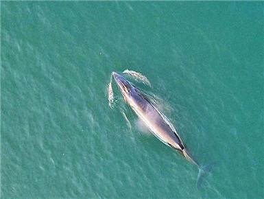 4月4日核心图:涠洲岛发明的大型鲸鱼确以为布氏鲸
