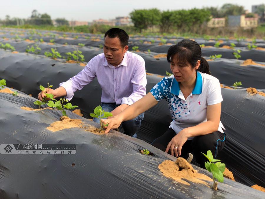 贺州市八步区:供港蔬菜基地助推生态种植业发展