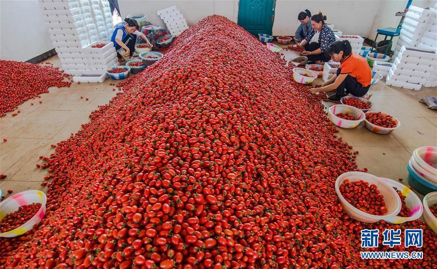 (经济)(6)云南元谋:高原特色农业促增收