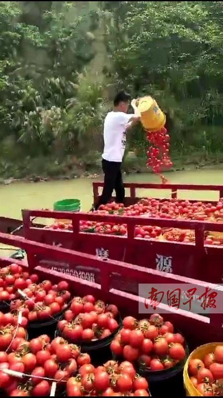 4月10日焦点图:田阳县西红柿滞销 农户无奈倒江中