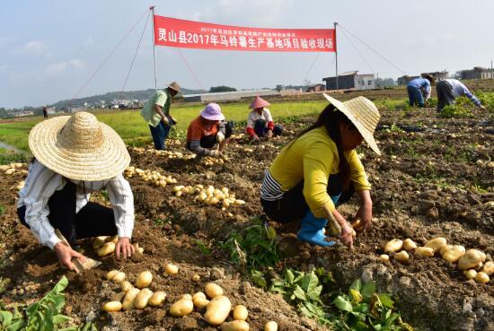 灵山开展马铃薯项目验收 最高亩产达5343斤
