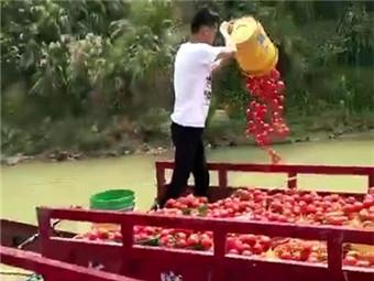 焦点:田阳县西红柿滞销 农户无奈倒江中