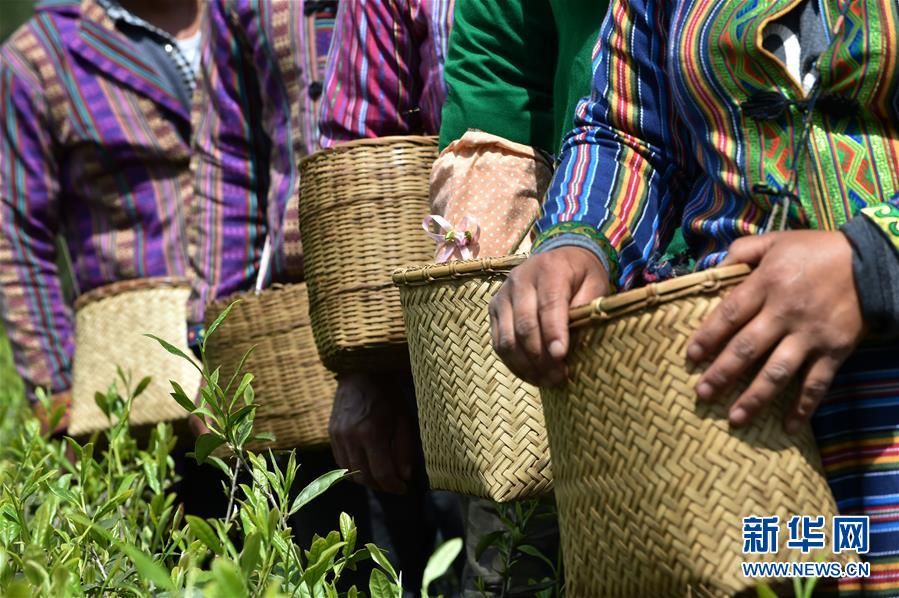 """(经济)(7) 西藏墨脱:茶业变成致富""""金叶"""""""