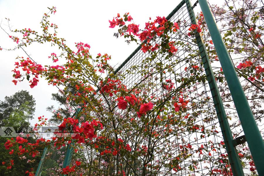 环江三角梅迎春盛开 爬满围栏成靓丽风景(组图)