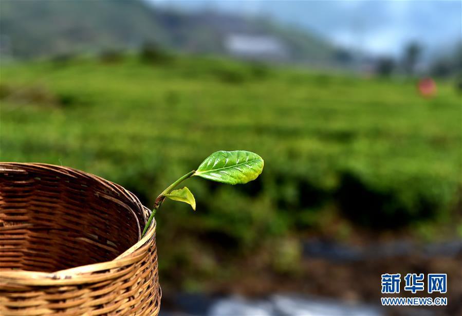 """(经济)(6) 西藏墨脱:茶业变成致富""""金叶"""""""