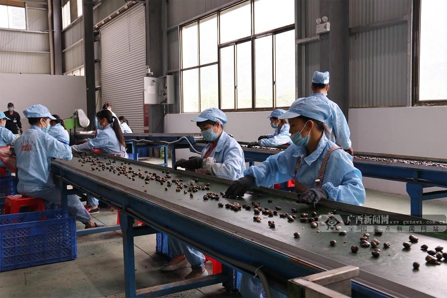 崇左:小坚果催生大产业