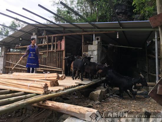 农行马山县支行积极支持当地养殖黑山羊