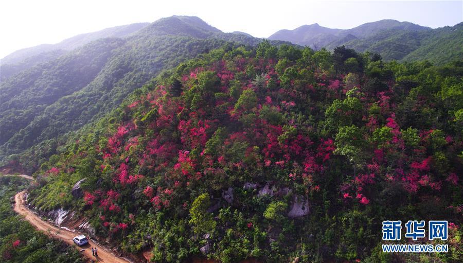 (春季优美生态)(1)安徽金寨:山野开遍映山红