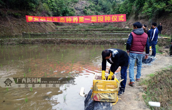 梧州市思扶村探索稻田综合种养 壮大村级集体经济