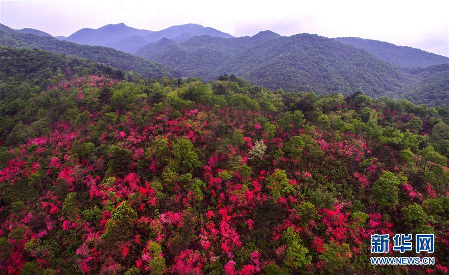 (春季美丽生态)(6)安徽金寨:山野开遍映山红